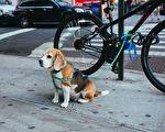 带着宠物逛街时,你是否也会随意将爱犬拴在街头,暂时安置呢?看完这个流浪狗行侠仗义的故事,就知道这不是明智之举!示意图。(Pixabay)
