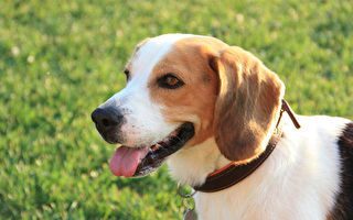 狗能闻出癌症 且准确率高 专家:带来新希望