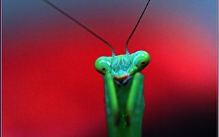 【無魚坊的攝影心視界】—綠衣螳螂拳擊手