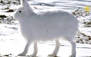 """长腿北极兔跑得快 站起来""""高兔一等"""""""