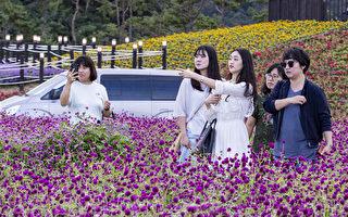 组图:韩国京畿道扬州百合公园千日红庆典