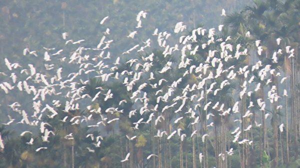 組圖:世界級景觀萬鷺朝鳳 黃頭鷺大遷徙