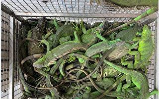 綠鬣蜥換紅豆   屏東2個月捉1317隻