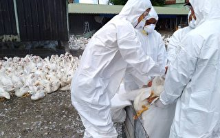 萬丹肉鴨場染禽流感 撲殺5119隻肉鴨