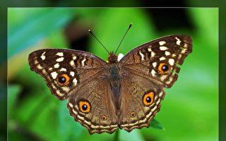 【无鱼坊的摄影心视界】用眼纹欺敌的蛱蝶