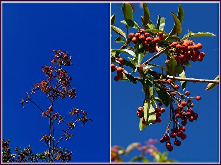 玉山假沙梨Photinia niitakayamensis薔薇科。