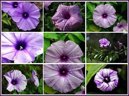 朝顏迎風笑臉開,微涼秋風輕拂來,萬種風情嬌欲滴,蜂兒勤快把花採。