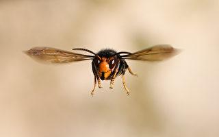 慢動作畫面:近拍大黃蜂飛行與喝水