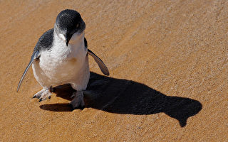 新西蘭企鵝跋涉2500公里 於澳洲獲救