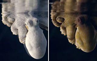 章魚做夢怎知道?專家:全身輪流變顏色