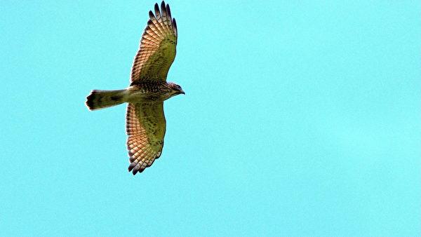 「國慶鳥」灰面鵟鷹上萬隻現身 場面壯觀