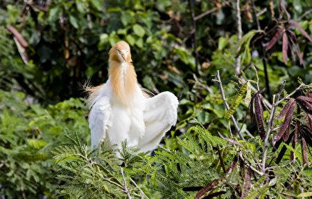 來自本美麗可愛的候鳥黃頭鷺。