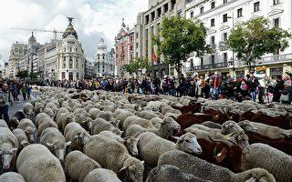 组图:年度盛会 2千只绵羊在马德里逛大街