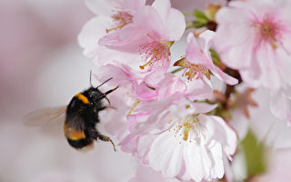 澳洲無刺蜜蜂打造螺旋狀蜂巢 沒人知道原因