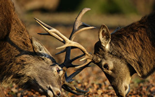 俄两只雄鹿的角缠住几小时 暖心男帮忙解围