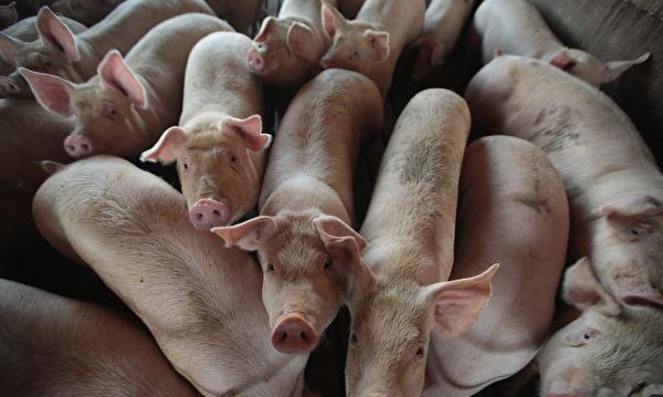 官媒稱炒豬團人為製造豬瘟 被指是中共卸責