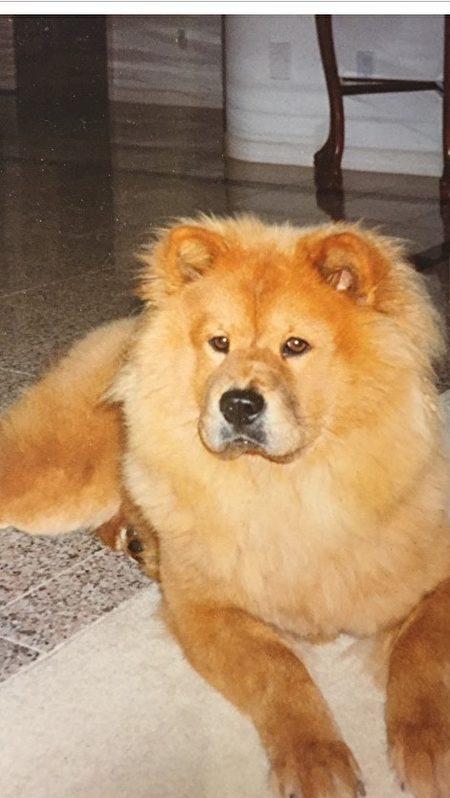 黄雪子通过针灸、中医调理,成功治愈了扭伤了腿筋的狮子狗。(黄雪子医师提供)