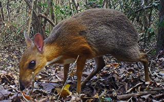 非鼠非鹿的稀有物种在越南现身 30年来首见