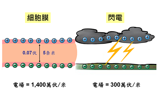 细胞膜电场 vs. 闪电电场。(家邑绘/大纪元)