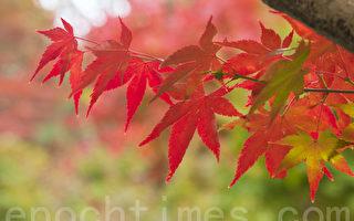 詩歌:一片紅葉