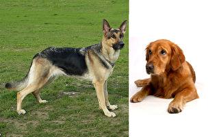 主人「倒下裝死」牧羊犬和金毛獵犬的反應大不同
