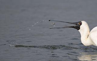 台鳌鼓湿地森林园区赏鸟季 欢度7周年庆