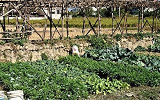 一户农家摘采自家菜园种的蔬菜,食用后陆续出现不同程度的农药中毒等症状。 (邓玫玲/足球竞猜)