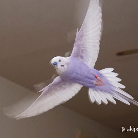 展翅飛翔時,羽毛顏色更為迷人。