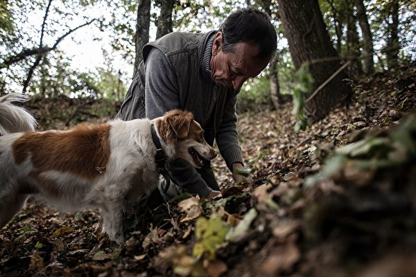 "Truffle hunter Giovanni Monchiero searches for truffles with his dogs in Verduno near Alba, northwestern Italy on October 24, 2018. - Giovanni Monchiero is the heir of dinasty of rectors of the ""University of truffles dogs"", founded in 1880 by his great grandfather Antonio Monchiero. In three weeks, the University can train a dog to be a truffle hunter. (Photo by MARCO BERTORELLO / AFP) / TO GO WITH AFP STORY BY CELINE CORNU (Photo credit should read MARCO BERTORELLO/AFP via Getty Images)"