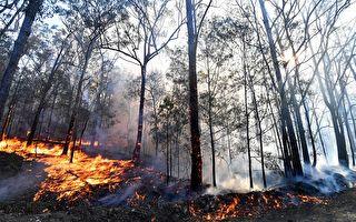 僅救出16隻!澳洲野火燒死350隻無尾熊