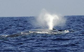 地球上最大动物 蓝鲸的心跳首次被记录到