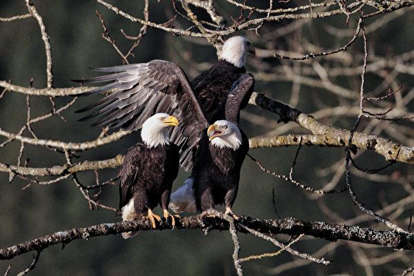 哈里森河的三文魚洄游,吸引了成千上萬的白頭鷹,成為世界之最。每年的10月下旬至1月初,Sandpiper Resort度假村,便成了得天獨厚的看鷹地點。(Danny Chan提供)