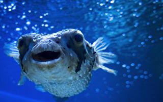 """海底也有""""麦田圈"""" 河豚熬夜7天创作只为10秒青睐"""