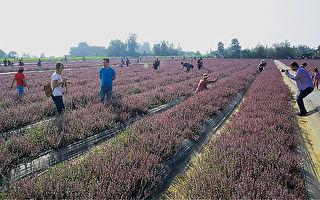 紫色花毯看得到吃得到 桃園仙草花節11月23日登場