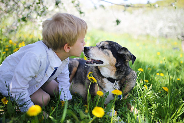 A sweet little boy is giving his rescued pet German Shepherd Dog a kiss on the nose as the relax outside in the flower meadow under the apple trees on a spring day. Fotolia