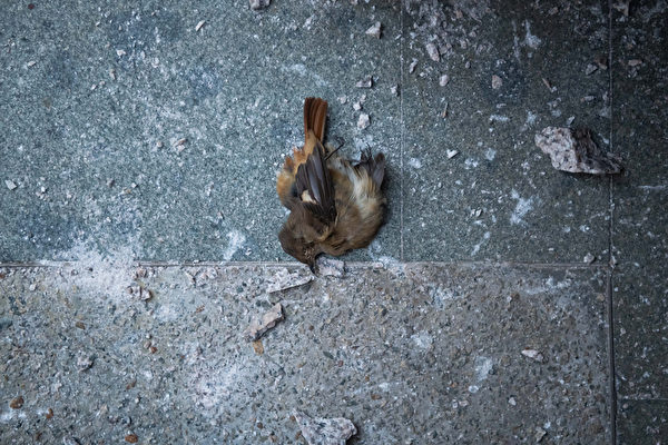 11月22日,在香港理工大学警方释放催泪弹现场的一只死亡鸟雀。(Billy H.C. Kwok/Getty Images)
