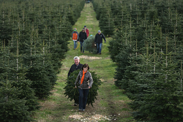 WERDER, GERMANY - DECEMBER 05: Visitors haul away Christmas trees they sawed down themselves at the Werderaner Tannenhof Christmas tree farm on December 5, 2015 in Werder, Germany. The Christmas season is in high gear in Germany and a proper, fully decorated Christmas tree is an essental part of Germany's Christmas tradition. (Photo by Sean Gallup/Getty Images)