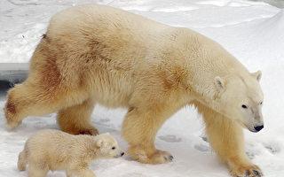 几十只北极熊围困俄村庄 村民以照明弹驱赶
