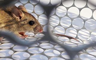鼠疫是一種感染性疾病,由鼠疫桿菌(Yersinia pestis)引發。(Shutterstock)