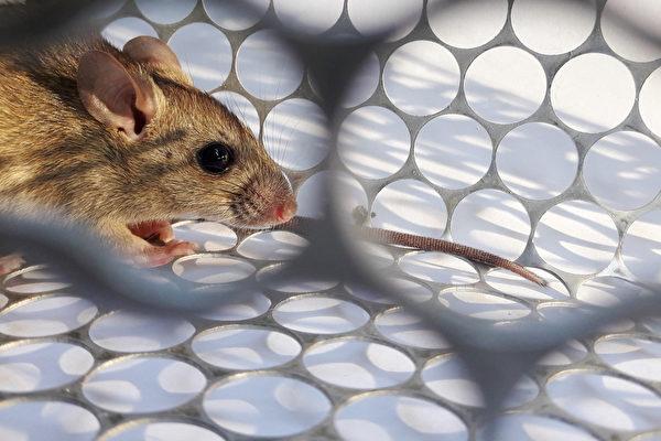 鼠疫是一种感染性疾病,由鼠疫杆菌(Yersinia pestis)引发。(Shutterstock)
