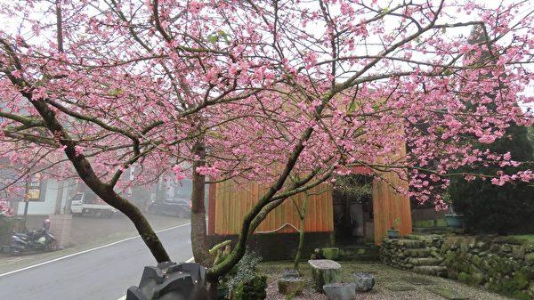 组图:台阿里山区雾雨中的樱花之美