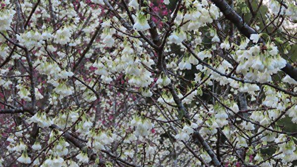 组图:台湾阿里山白樱花之美