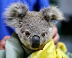 野火灾情惨重 澳洲青年开车四处救无尾熊