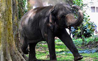 大象罕见爬墙欲偷摘芒果 镜头全都录