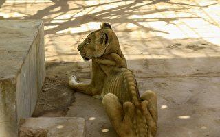 蘇丹公園的獅子骨瘦如柴 網民呼籲援救