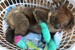 澳洲野火肆虐 鱷魚先生一家救下9萬隻動物