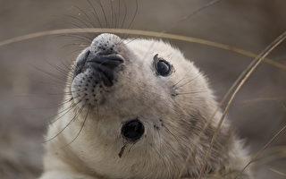英國小海豹「揮手打招呼」 萌度百分百
