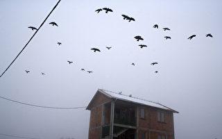 成群烏鴉在湖北天空盤旋 網民:要變天了