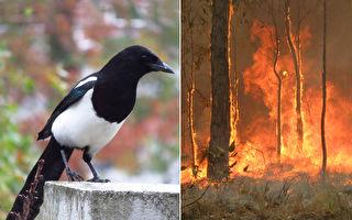 澳洲喜鹊竟唱出消防警笛声 背后见证野火灾难