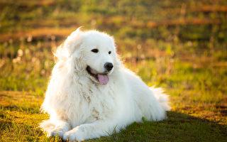 美国白色母狗生8只小狗 有一只竟是绿色的